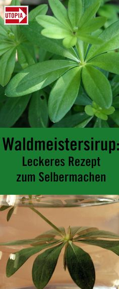 Woodruff syrup: delicious recipe to make yourself - Utopia.de - Woodruff syrup is ideal for making delicious woodruff lemonade. Waldmeister is in season in early s - Patio Planters, Herb Planters, Cocktail Recipes, Cocktails, Winter Drinks, Self Watering, Vegetable Drinks, Healthy Eating Tips, Non Alcoholic