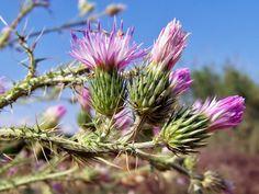 Carduus bourgaeanus (Cardo borriquero) : Capítulos en flor - Rambla de la Algüeda, Albatera (Alicante, España).