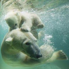 Isbjörnar
