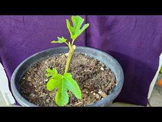 Mongoose, Plants, Bella, Youtube, Gardens, Fig Tree, Growing Fruit Trees, Trees In Pots, Greenhouse Gardening