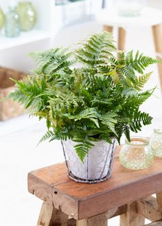 Buy house plants now Air so Pure® Autumn Fern Autumn Fern, Boston Ferns, Plantation, New Leaf, Compost, Houseplants, Home Buying, Indoor Plants, Living Room