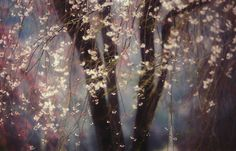 """""""Sakura"""" von Hideyuki Katagiri. """"Sakura"""", die Kirschblüte, ist Japans Wahrzeichen. Ein Baum, insbesondere ein alter, kann viele verschiedene Blüten tragen. Diese nennt man Edo-Higan. Die Zweige dieses über 100 Jahre alten Baumes sind im Frühjahr ein prachtvolles Spektakel.   © Hideyuki Katagiri/2013 National Geographic Traveler Photo Contest"""