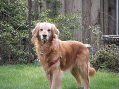 This is Chester and he is approx 5 yrs old. He has not had much human contact and is learning many new things and how to trust. He is crate and potty trained, gets along with cats and other dogs but not kids - they scare him. He is making progress and is looking for a forever home. Chester is at Gold Bond Golden Retriever Rescue in Oregon.