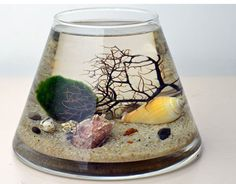 Marimo Terrarium - Japanese Moss Ball Aquarium - Trapeze glass vase - Sea Fan - Sea Shells
