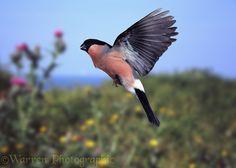 Bullfinch male in flight