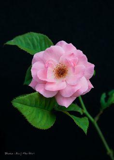 Pink rose 3 by Shuji Horikiri on 500px