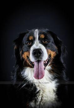 Bernese Mountain Dog - null