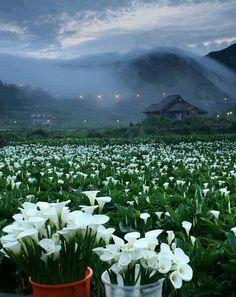 Field of calla lilies nature outdoors