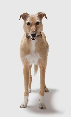 Lurcher, Corgi, Fox, Animals, Corgis, Animales, Animaux, Animal, Animais