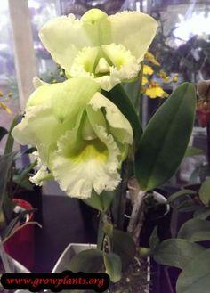 Cattleya yellow flower http://www.growplants.org/growing/cattleya