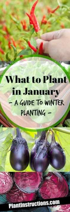 What to Plant in January | Posted by: SurvivalofthePrepped.com