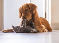 Are you a dog person or a cat person? If your answer is both, it might be a good idea to look into what types of dogs play nice with other cats. We talked to experts and owners, here are the most cat-friendly dog breeds. Large Dog Breeds, Large Dogs, Le Plus Grand Chien, Friendly Dog Breeds, Animals And Pets, Cute Animals, Raining Cats And Dogs, British Shorthair, Freundlich