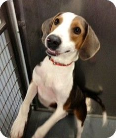 Maumelle, AR - Treeing Walker Coonhound Mix. Meet Cooper - 642 a Dog for Adoption.