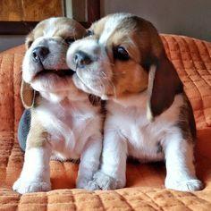 Beagle puppies - @beagles_halbach