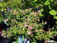Immergrüne Heidelbeere 'Sunshine Blue' - Vaccinium corymbosum 'Sunshine Blue'
