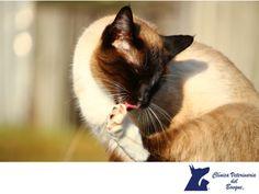 Mi gato se arranca el pelo ¿por qué? LA MEJOR CLÍNICA VETERINARIA DE MÉXICO. Los gatos se acicalan para limpiarse, pero si notas que se arranca mechones de pelo no es algo normal. Esto puede suponer un problema médico como alteraciones hormonales, algún trastorno del sistema inmune, parásitos, estrés, la dieta o algún tipo de alergia. En Clínica Veterinaria del Bosque contamos con médicos expertos para atender de manera integral a tu mascota. #veterinariadelbosque