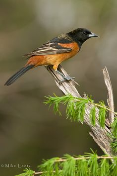 Orchard Oriole- May South Jersey