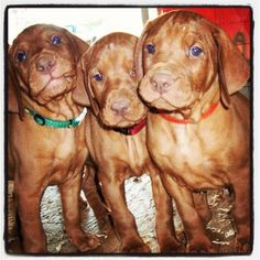 #Vizsla #Puppies
