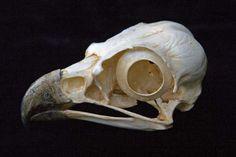 Bird Skull Reproductions