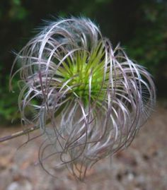 @Susan Filoramo I had no idea! Can't decide if they're amazing, or too much like one of my bad hair days... ;-)  Clematis Seed Pod