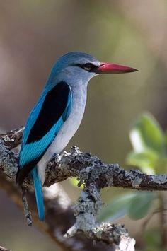 Stunning Kingdom: 5 Stunning and Colouring Birds, Innocent Feader Birds Kinds Of Birds, All Birds, Birds Of Prey, Little Birds, Love Birds, Pretty Birds, Beautiful Birds, Animals Beautiful, Exotic Birds