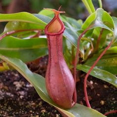 Nepenthes Ventrata x Alata | Red Tropical Pitcher Plant for Sale | A highly versatile, easy to grow carnivorous house plant