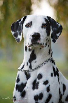Dot for Dot lovely by Kerstin Benz** Dalmatian I Love Dogs, Cute Dogs, Animals And Pets, Cute Animals, Hedgehog Pet, Dalmatian Dogs, Mundo Animal, Wild Dogs, Dogs And Puppies
