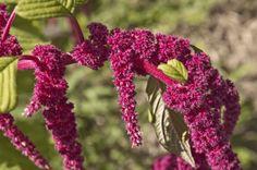 Čím je prospěšný amarant - Strana 2 z 2 - EZY - Víme jak Acide Aminé, Divas, Green, Flowers, Voici, Photos, Tips And Tricks, Plant, Florals