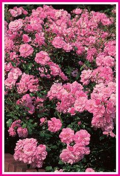 Mirato®. Heesterroos. Zeer gezonde, breedbossig groeiende roos, die buitengewoon rijk en lang doorbloeit met een opvallend lichtend oranje-roze kleur, die tot in de verbloeifase mooi op kleur blijft. Goed schonend. Een goede winterharde bodembedekker. Geschikt voor zowel tuin als voor groot groen gebruik. Deze roos kan met recht de beste in zijn klasse worden genoemd.