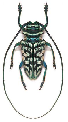 Beetle Insect, Beetle Bug, Insect Orders, Longhorn Beetle, Bed Bug Bites, Cool Bugs, Grasshoppers, A Bug's Life, Beautiful Bugs