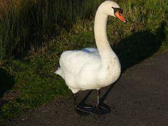 Swan at Arundel Wetlands
