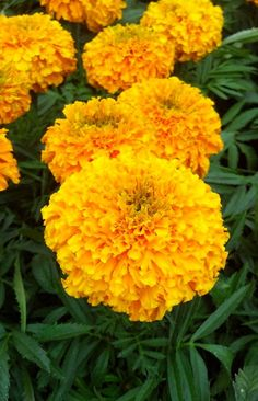 MARIGOLDS - one of my favorite things! See you again in the Spring...