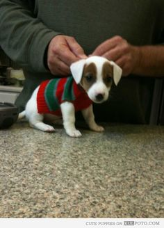Puppy in Christmas sweater - Cute little puppy looking funny wearing a Christmas sweater.