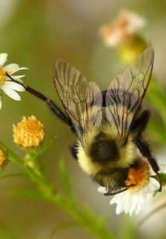 Only the new Bumblebee queens will survive and hibernate through the winter, ulike the honey bee where the whole hive hibernates I Love Bees, Birds And The Bees, Buzzy Bee, Flora Und Fauna, Bees And Wasps, Bee Art, Tier Fotos, Save The Bees, Bee Happy