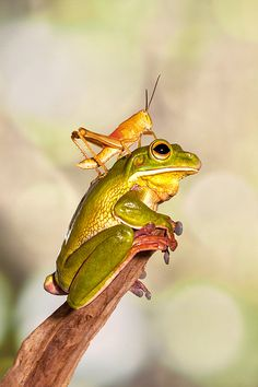 Grasshopper & Green Tree Frog, heh, it can't reach me here... I'll just sit…
