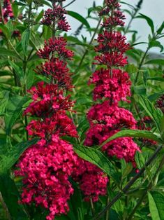 Buddleia 'Prince Charming' Butterfly Bush has intense raspberry-pink blossoms. Growing Raspberries, Plan Front, Cerise Pink, Butterfly Bush, Pink Blossom, Trees And Shrubs, Burpees, Growing Plants, Prince Charming