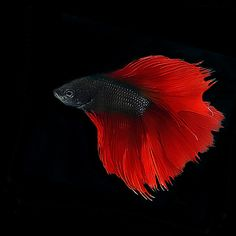 ~ Scarlet Red Betta ~ Beautiful fish. The colors are beautiful.