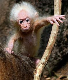 On October 25, Professor Mihail Nazarov spotted a baby stump-tailed macaque at Taiping National Park in Malaysia that was the spitting image of Albert Einstein.