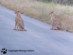 Cheetah's Kruger National Park, National Parks, Cheetahs, View Photos, Giraffe, Safari, Animals, Felt Giraffe, Animales