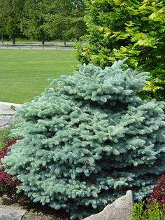 Montgomery Colorado Spruce - Blue