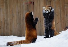 Two adorable red pandas appeared to be playing a game of cops and robbers in the snow. Photographer Dominic Marcoux captured these stunning photographs at Granby Zoo in Quebec, Canada. Cute Creatures, Beautiful Creatures, Animals Beautiful, Cute Funny Animals, Cute Baby Animals, Animals And Pets, Wild Animals, Panda Love, Red Panda Cute