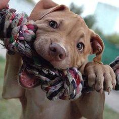 Beautiful Pit Bull Puppy #pitbull