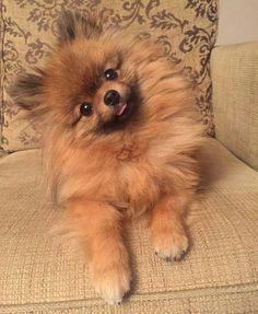 Everything About Inquisitive Pomeranians Temperament Amazing cute Pomeranian Puppies Cute Puppies, Dogs And Puppies, Cute Dogs, Doggies, Little Dogs, Cute Girl Dog Names, Baby Names, Cute Pomeranian, Pomeranian Haircut