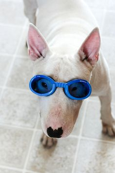 Bullie ready for a swim! www.projectbullterrier.co.uk