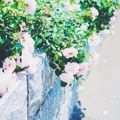 * #sony #sonyalpha #sonya7 #a7 #vscocam #vscoflowers #instaflower #flowers #rose #helios #helios44 #oldlends