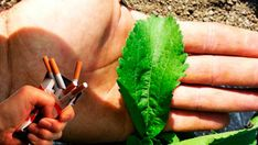 Natural Sleep Remedy I'm Angry With My Doctor Because He Never Told Me This Leaf Makes You Stop Smoking - Natural Nutrition Team Stevia, Healthy Drinks, Healthy Tips, Healthy Foods, Quitting Cigarettes, Ways To Stop Smoking, Troubles Digestifs, Detox, Sleep Remedies