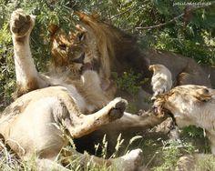 A lion family quarrel