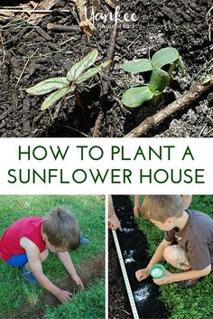 How to Plant a Sunflower House | Yankee Homestead