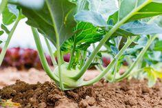 Sadenie mrkvy, hrachu, fazuľe, cibule či kalerábu – kedy a ako Celery, Gardening, Vegetables, Jar, Food, Composters, Garten, Vegetable Recipes, Eten