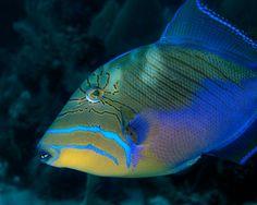 Balistes   Balistes vetula – Queen triggerfish